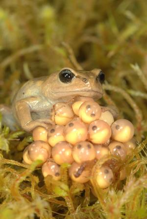 Disease, not climate change, fueling frog declines in the Andes, study finds