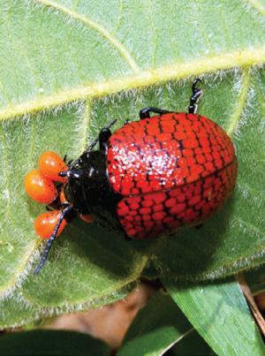 Do beetles have maternal instincts?