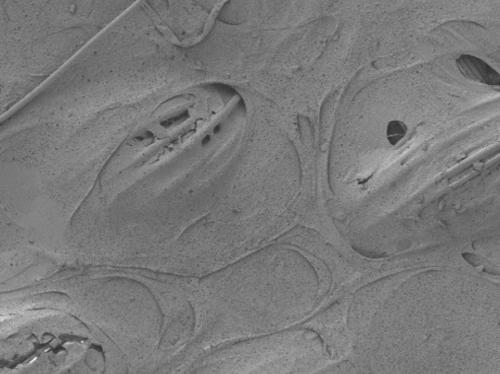 Duke engineers make strides toward artificial cartilage