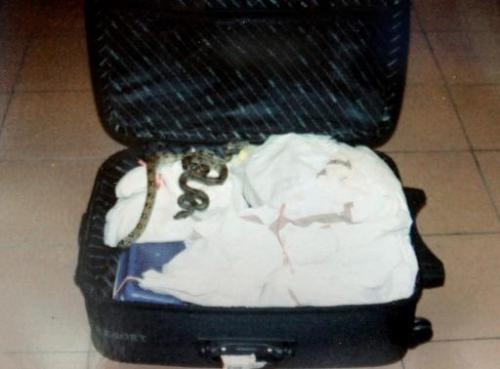Endangered live boa constrictors are shown in a suitcase belonging to notorious wildlife trafficker Anson Wong in September 2010