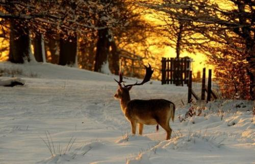 File picture shows a deer in Knole Park, southern England
