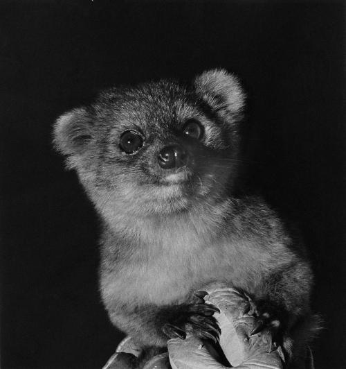 First find of its kind in more than 3 decades: The adorable Olinguito
