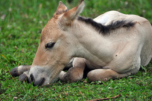 First wild horse born from artificial insemination at Smithsonian Conservation Biology Institute