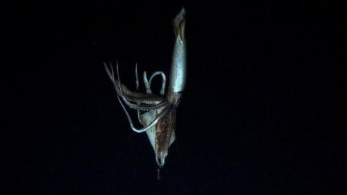 Footage captured by NHK and Discovery Channel in July 2012 shows a giant squid holding a bait squid in its arms