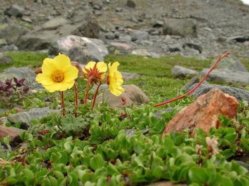 Glacial History Affects Shape and Growth Habit of Alpine Plants