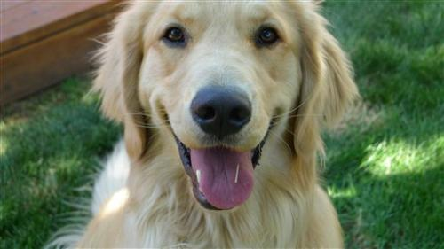Golden retrievers key to lifetime dog cancer study