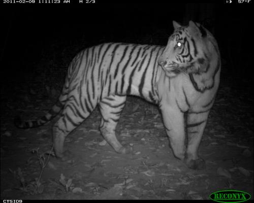 Habitat research methods give a new peek at tiger life with conservation