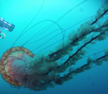 Jellyfish blooms pulse cyclically through time