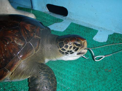 Longline fishery in Costa Rica kills thousands of sea turtles and sharks