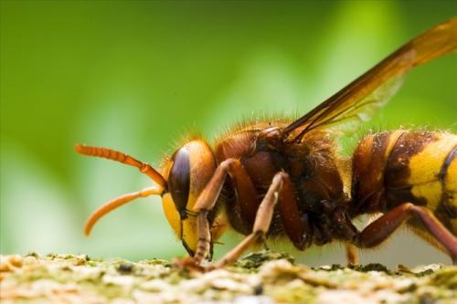 Manipulative parasites make hornets their nest