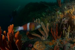 Marine reserves enhance resilience to climate change