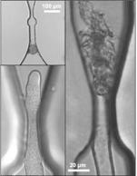 Microchip proves tightness provokes precocious sperm release