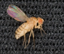 NASA's next 'top model,' the fruit fly