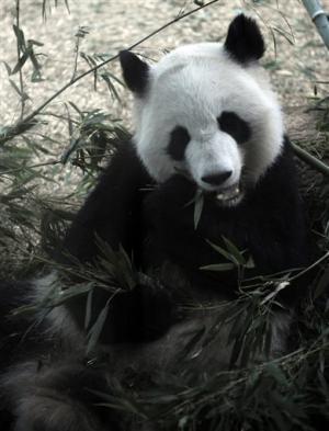 Newborn pandas split time between mom, zoo nursery