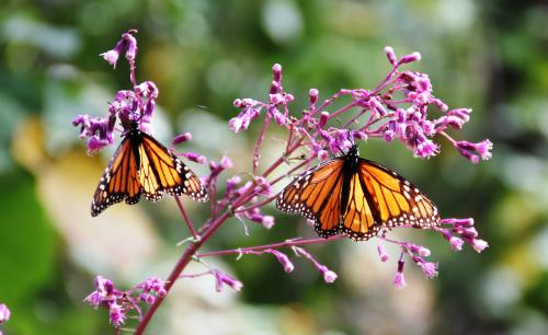 No map, no problems for monarchs