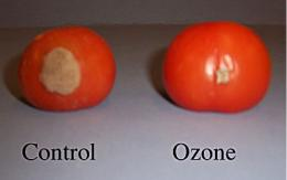 Ozone can protect fruit from decay for weeks after exposure