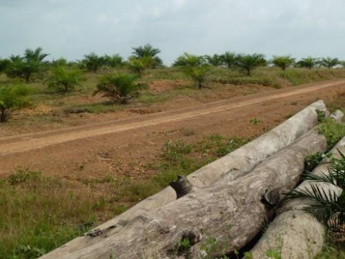 Picture taken on December 10, 2012 shows a field of palm trees at the Sime Darby concession in northwestern Liberia