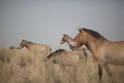 Przewalski's horses, pictured at the West Lake national nature reserve in northwestern China, on May 13, 2013