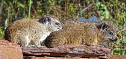 Researchers analyzing hyrax urine layers to study climate change