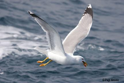 Scientific campaigns to reduce the incidental catch of seabirds by Mediterranean longline fisheries