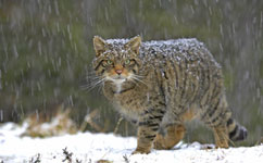 Scientists identify essential wildcat habitat