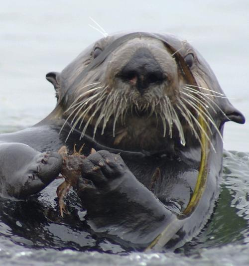 Sea otters promote recovery of seagrass beds