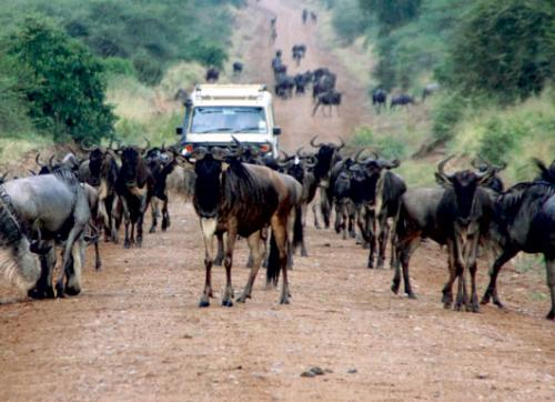 Serengeti road divides biologists: Will a road across the northern tier of Serengeti National Park ruin it?