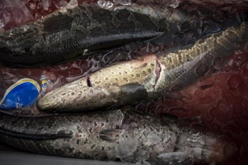 Snakehead fish are seen in a cooler during the Potomac Snakehead Tournament in Marbury, Maryland, on June 30, 2013