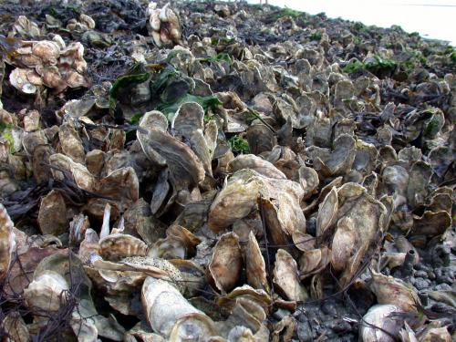 Study highlights under-appreciated benefit of oyster restoration