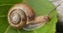 Study uncovers the secret lives of UK garden snail