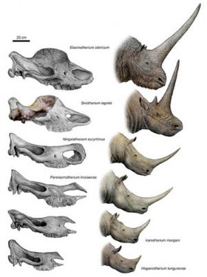 Tandem-horned rhino from the Late Miocene of northwestern China reveals origin of the unicorn Elasmothere