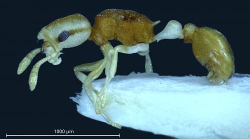 The pirate ant: A new species from the Philippines with a bizarre pigmentation pattern