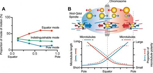 "Waseda University team observes ""molecular motors"" involved in chromosome transport"