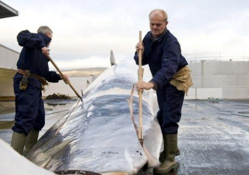 Whalers cut open and inspect a 35-tonne fin whale caught off the coast of Hvalfjsrour, on June 19, 2009