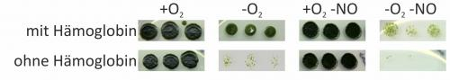 When green algae run out of air: Single cell organisms need haemoglobin to survive in an oxygen-free environment