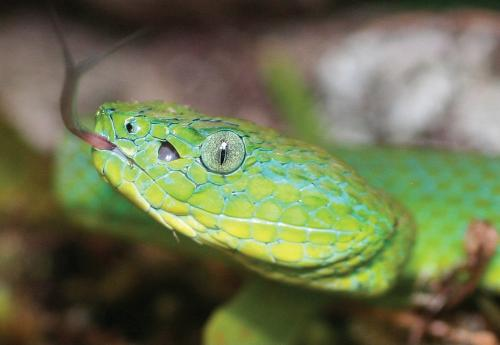 When green means danger: A stunning new species of palm-pitviper from Honduras