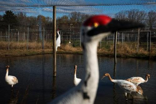 Whooping cranes (in the background), raised in captivity before being transferred to Louisiana, are seen at the US Geological Su