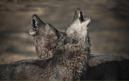 Wolves howl because they care