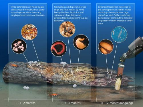 Wood on the seafloor: An oasis for deep-sea life