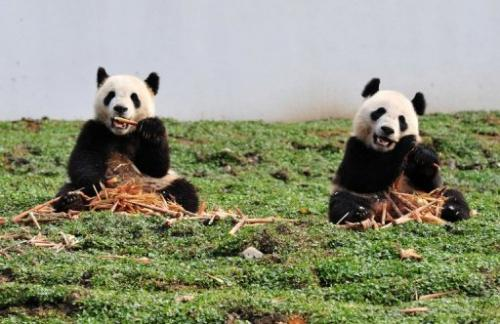 This picture taken on October 30, 2012 shows two giant pandas at the Wolong National Nature Reserve in China