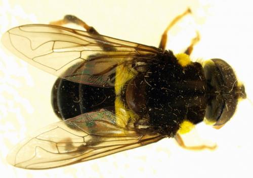 24 new species of flower fly have been found in Central and Southern America