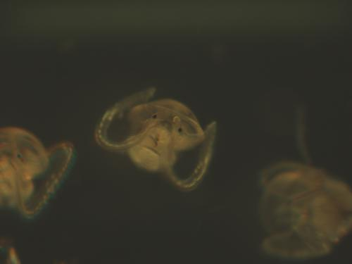 New study reveals the biomechanics of how marine snail larvae swim