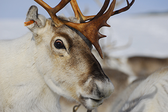 Researcher shines light on mystery of reindeer's changing eye colour at Christmas-themed Caf and #233; Scientifique