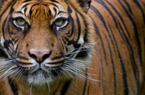 Researchers find human activities threaten Sumatran tiger population