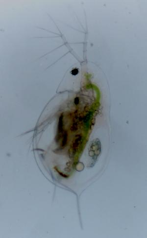 Can a tropical water flea invade European lakes?