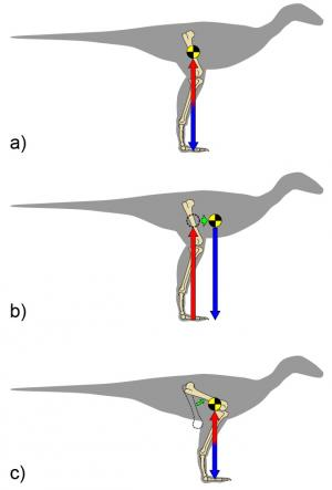 Computer simulations show evolution of birds' crouch likely due to increase in forelimb size (w/ video)