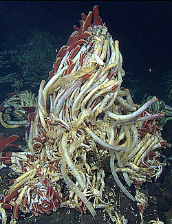 Deep-sea vent animals not as isolated as they seem