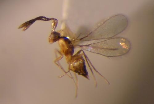 Entomologist names new wasp species after UC Riverside