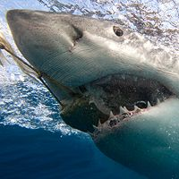 New research shows white sharks have a larger appetite than originally thought