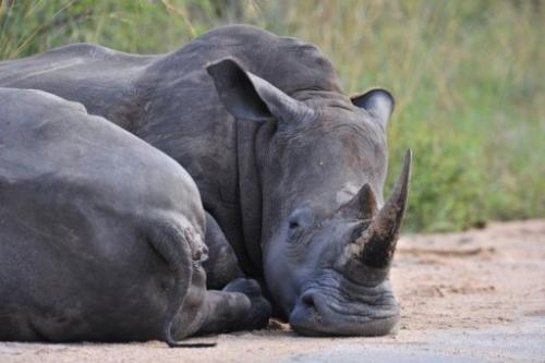 Photo taken on February 6, 2013 shows rhinoceros resting in the Kruger National Park near Nelspruit, South Africa